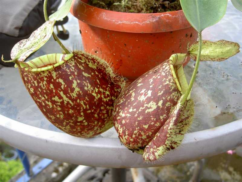 Nepenthes20x20hookeriana20var20spotted202.jpg